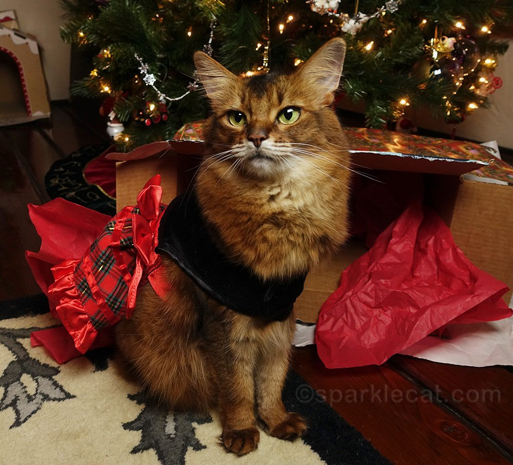 somali cat posing in front of toppled gift box