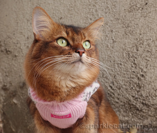 somali cat in sweater looking off into the distance