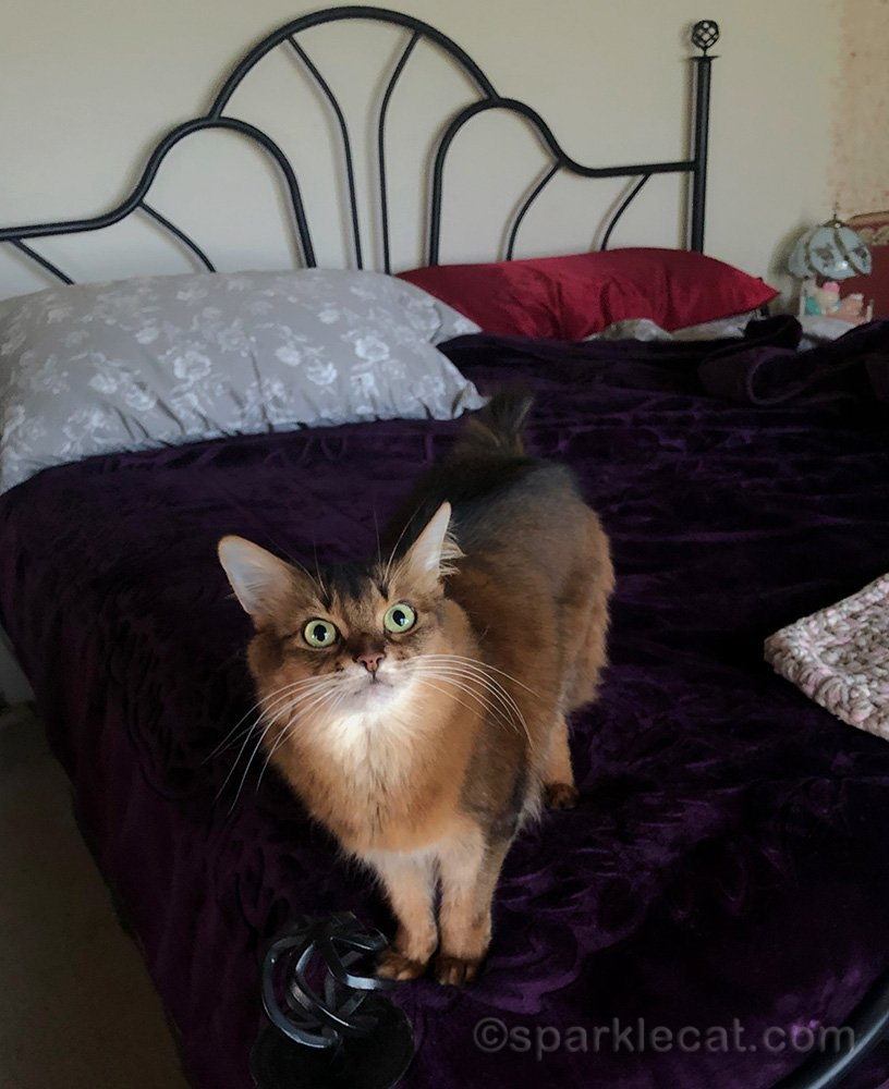 somali cat on bed, waiting for her human to go to the kitchen to give her dinner