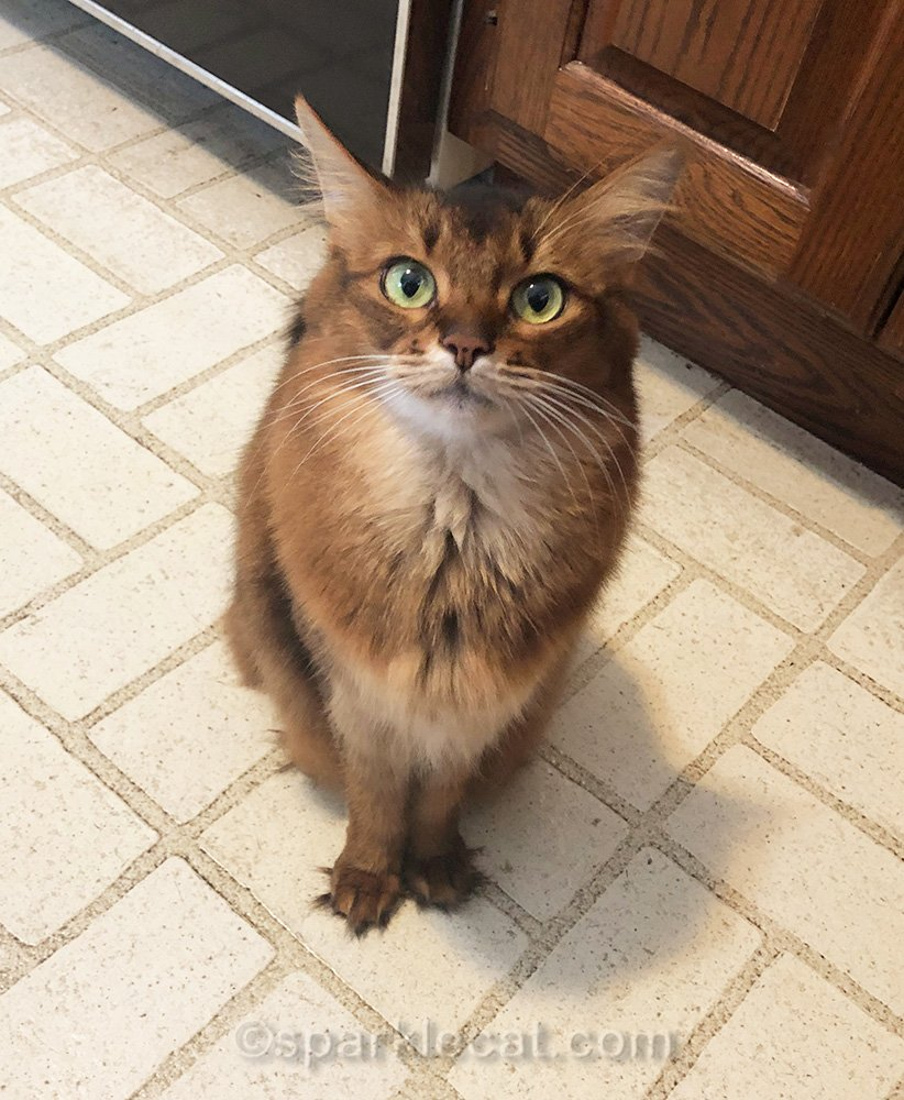 somali cat impatiently waiting for breakfast