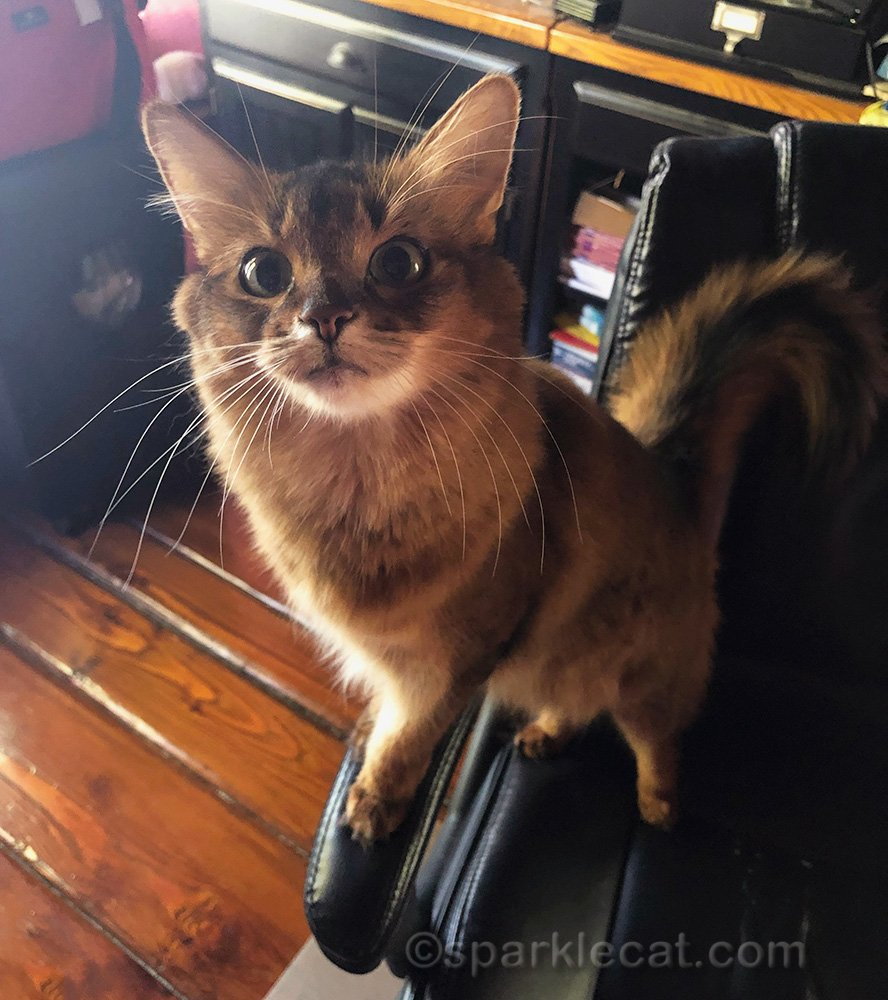 somali cat on office chair, ready to help out