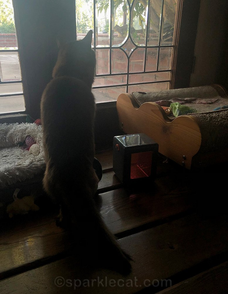 somali cat watching a squirrel through the leaded glass doors