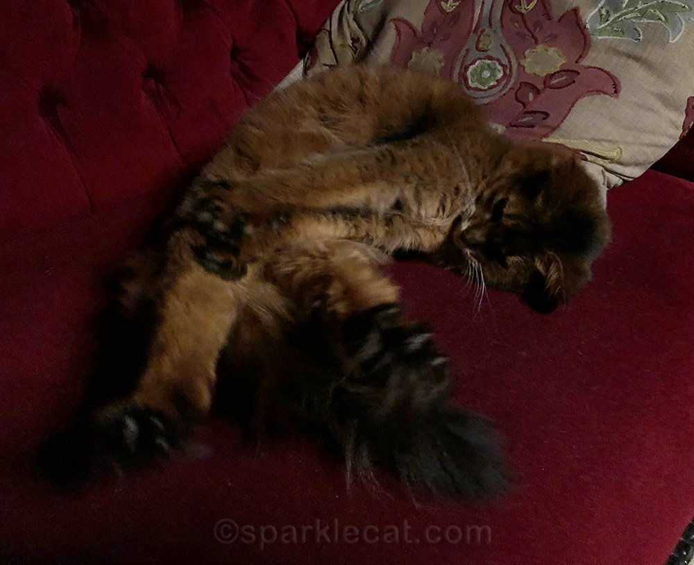somali cat stretching on sofa