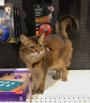 somali cat in the dog section of the pet shop