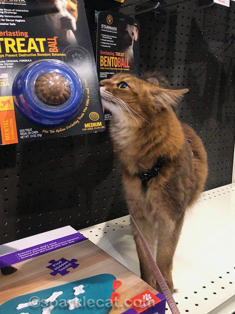 somali cat with dog items at pet shop