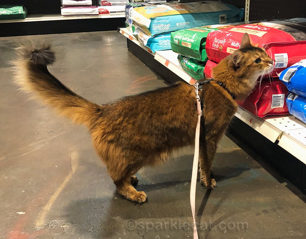 somali cat rubbing on bag of cat litter