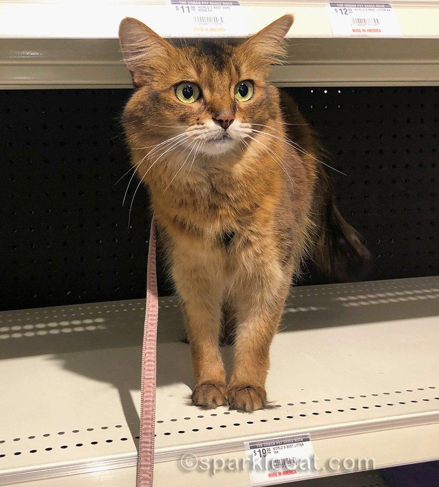 somali cat on empty shelf.