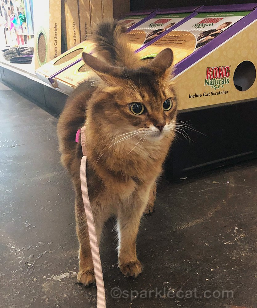 somali cat upset that there are no drinking fountains at pet shop