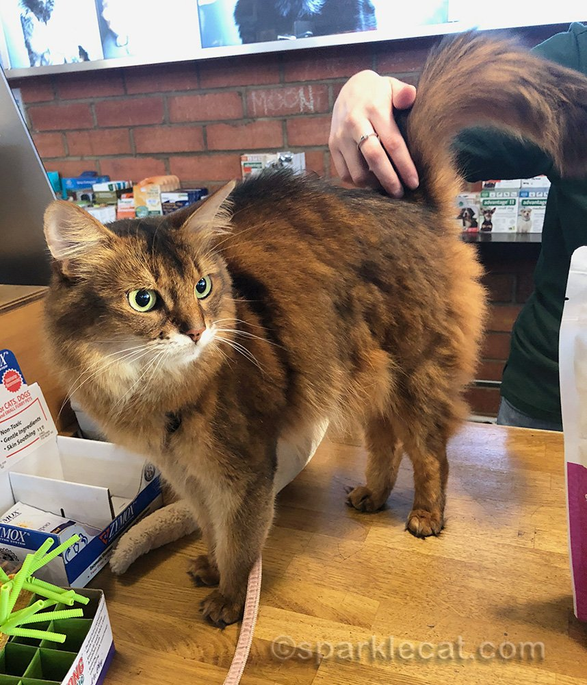 somali cat on pet shop counter, getting petted