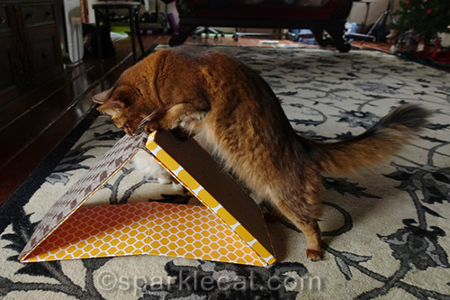 somali cat checking out dual incline scratcher toy