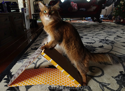 somali cat feeling dubious about new scratcher