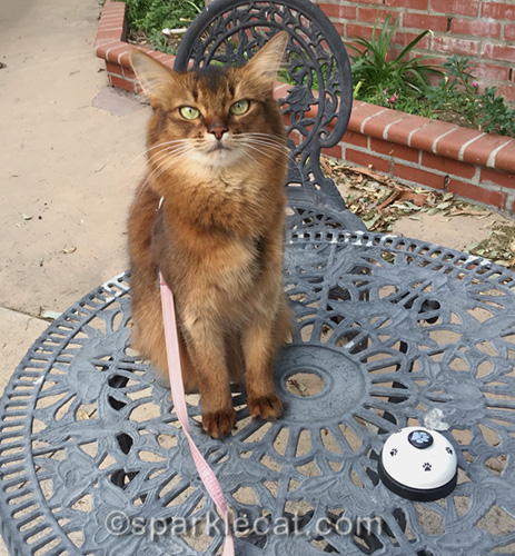 somali cat with bell for ringing practice