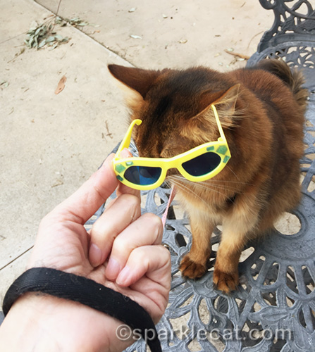 somali cat with sunglasses being put on