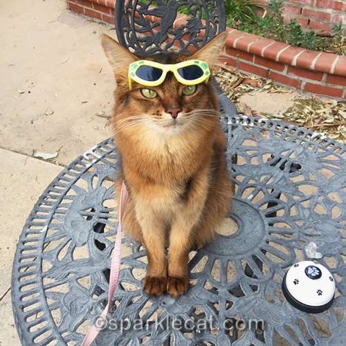 somali cat wearing sunglasses on her forehead