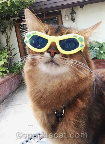 somali cat wearing sunglasses for selfie