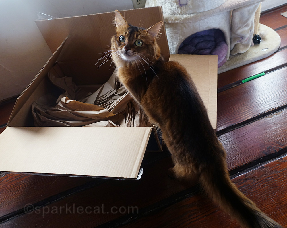 somali cat about to get into box