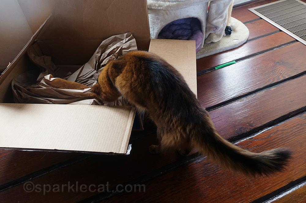 somali cat checking out box