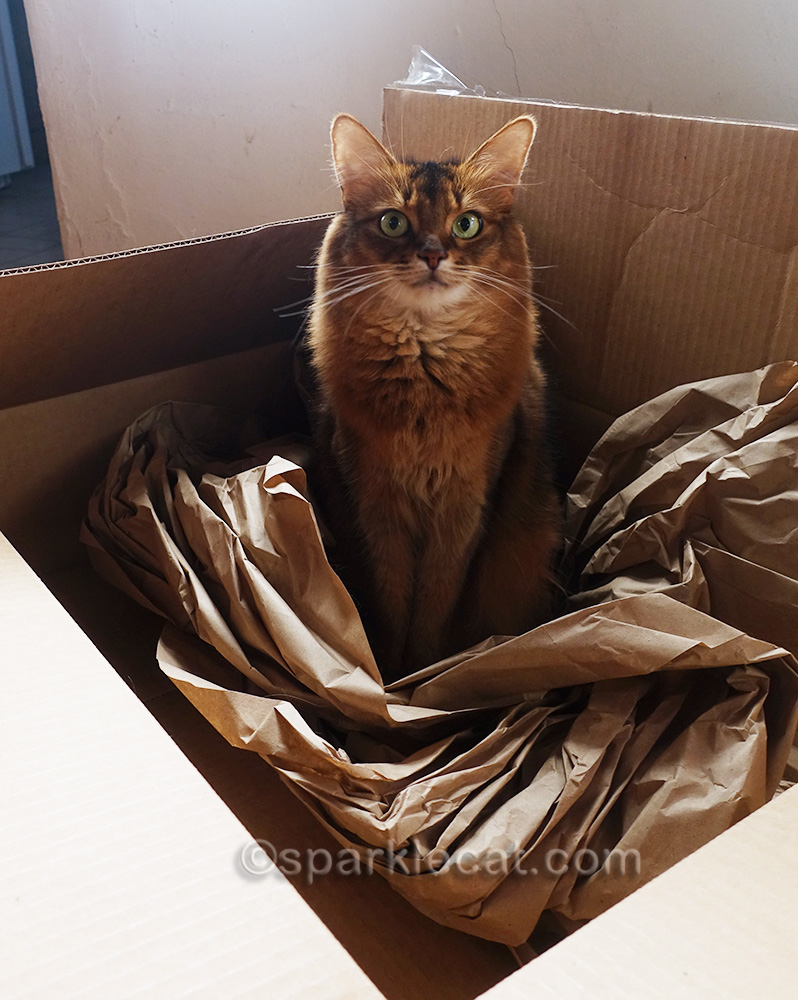 somali cat sitting in box and looking confused
