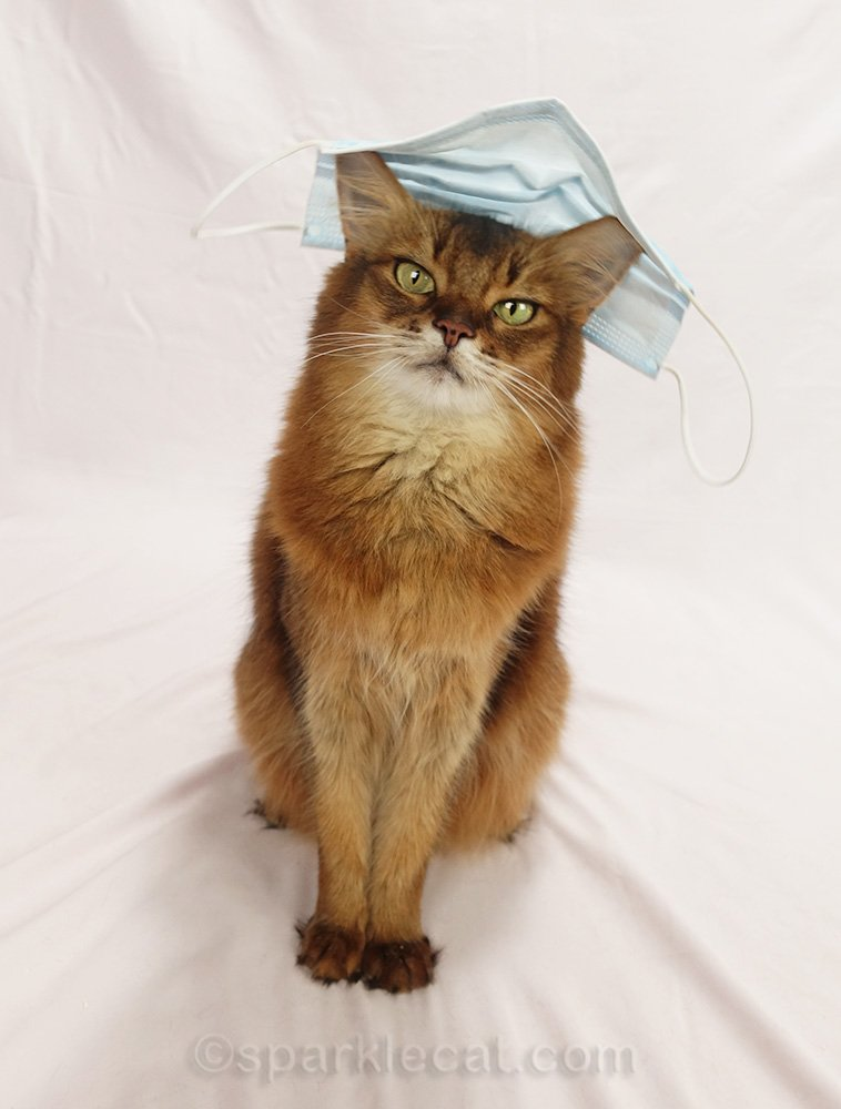 somali cat wearing standard issue mask on head