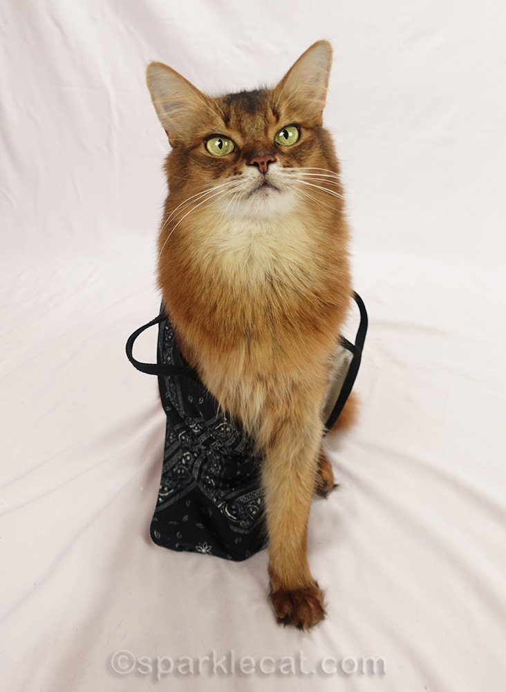 somali cat happy to be done modeling masks