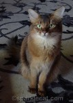Somali cat, stern cat