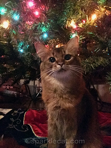 somali cat selfie in front of bare Christmas tree