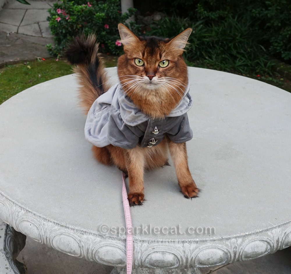 somali cat on concrete table
