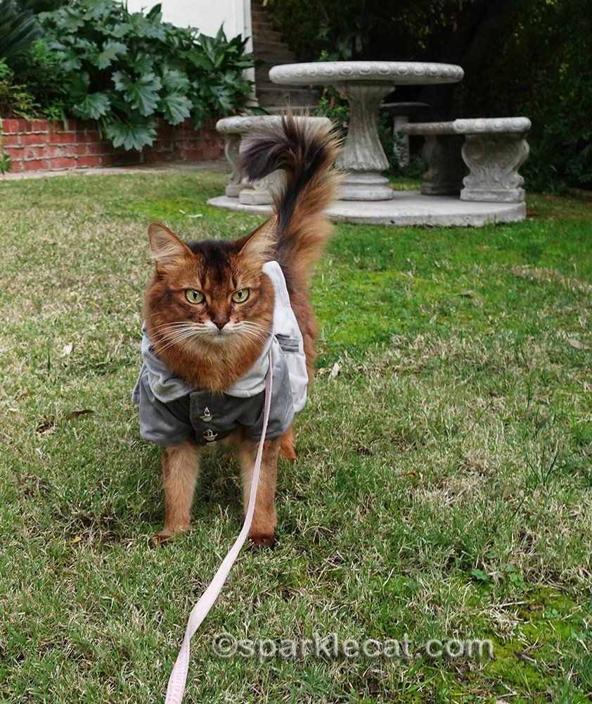 somali cat walking on lawn