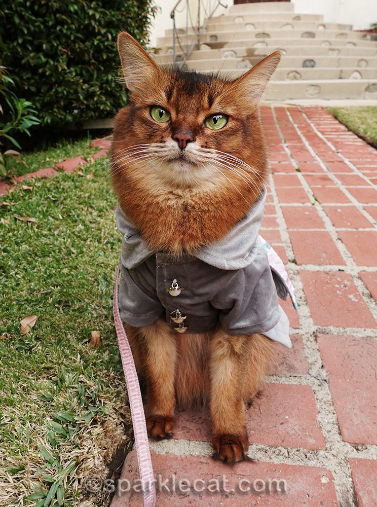 somali cat in gray jacket on brick walkway