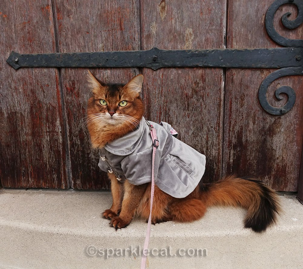 somali cat at front door, waiting to go back in.