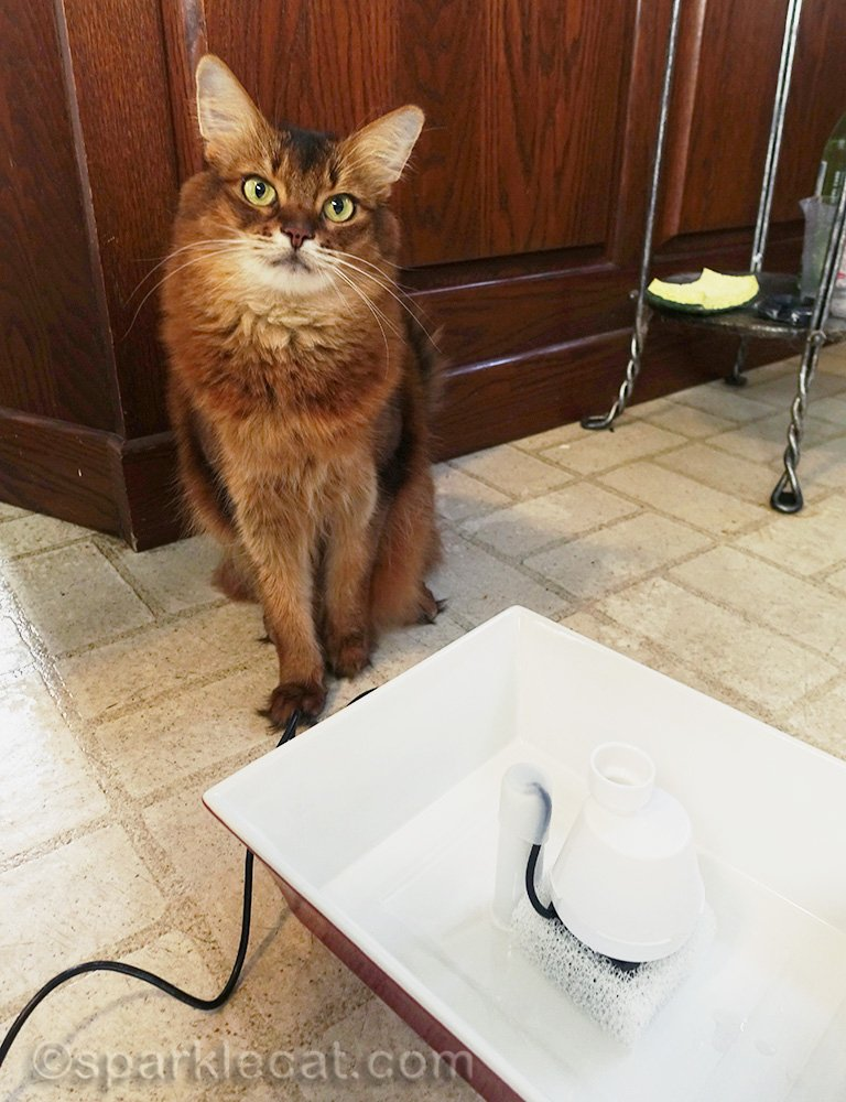 somali cat with partly assembled new drinking fountain