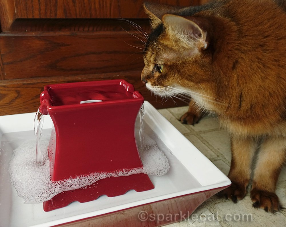somali cat checking out new drinking fountain
