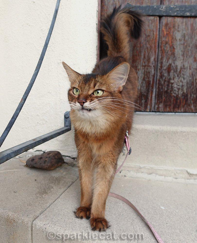 somali cat making a face