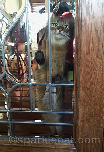 Somali cat, anxious cat