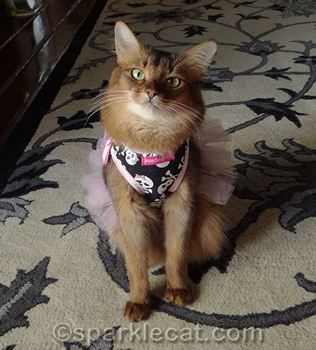 Ruddy Somali cat in a tutu dress