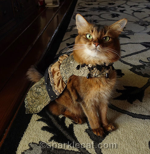 somali cat in custom-made dress