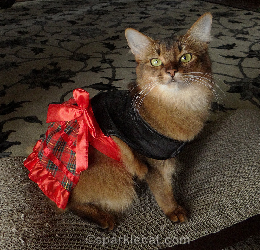 somali cat wearing lost Christmas dress