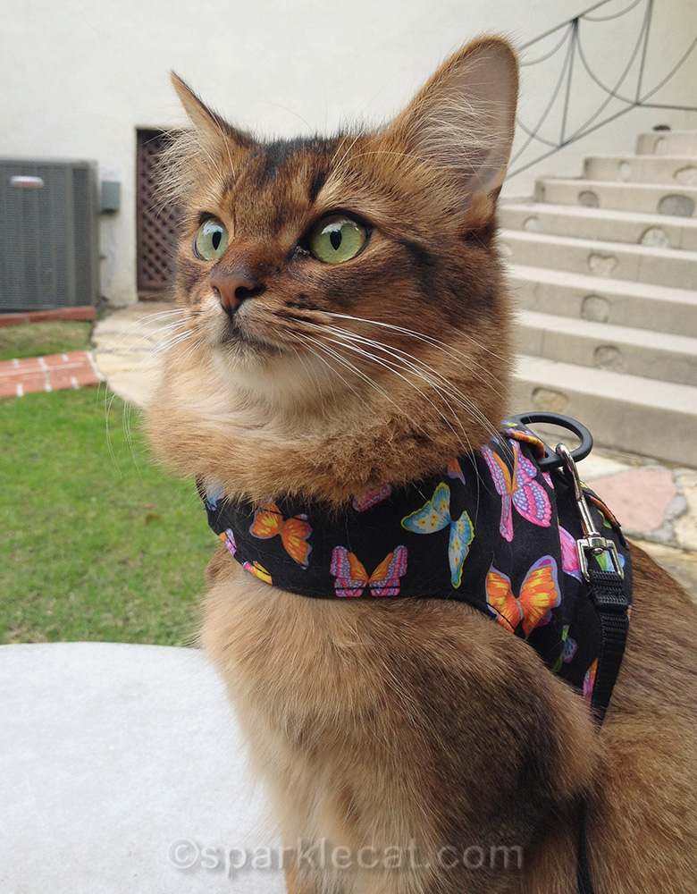 somali cat wearing butterfly walking vest