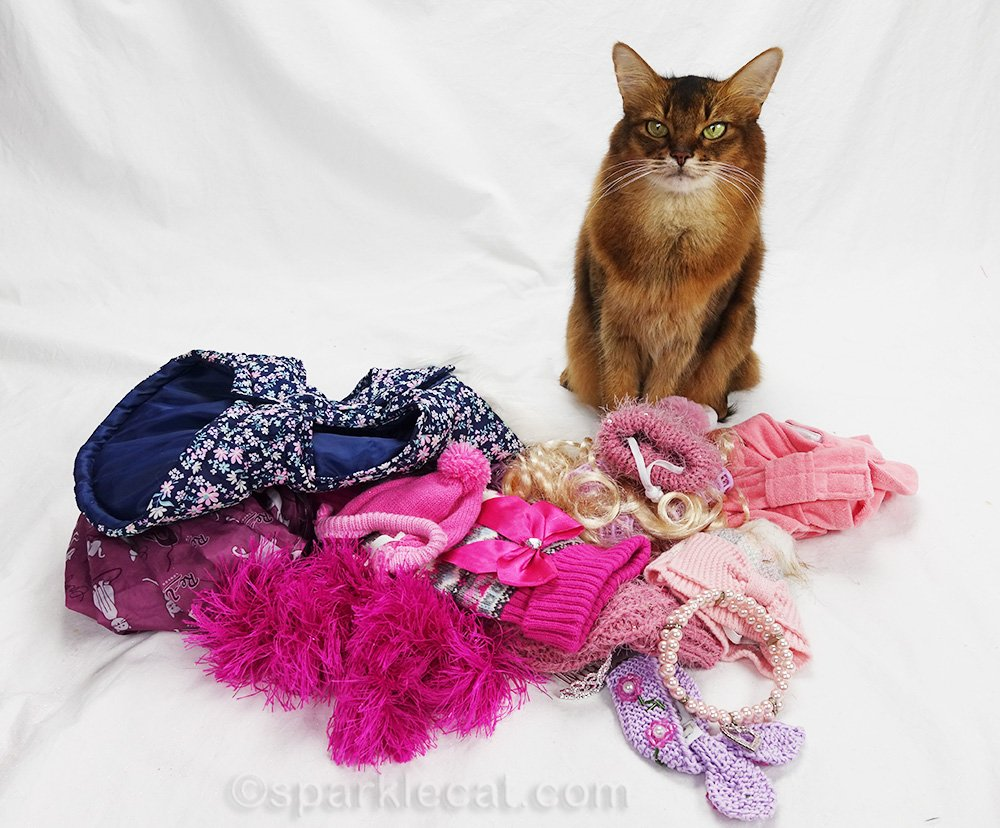 somali cat with warm clothes for cat show