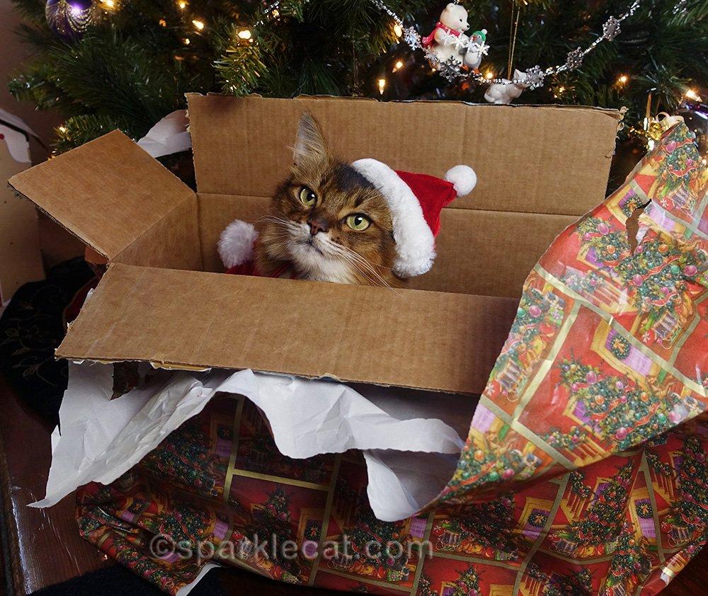 somali cat in santa hat in box