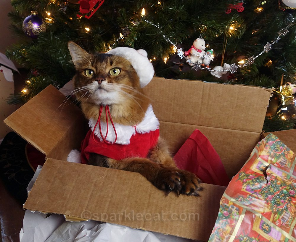somali cat excited about Christmas photo session