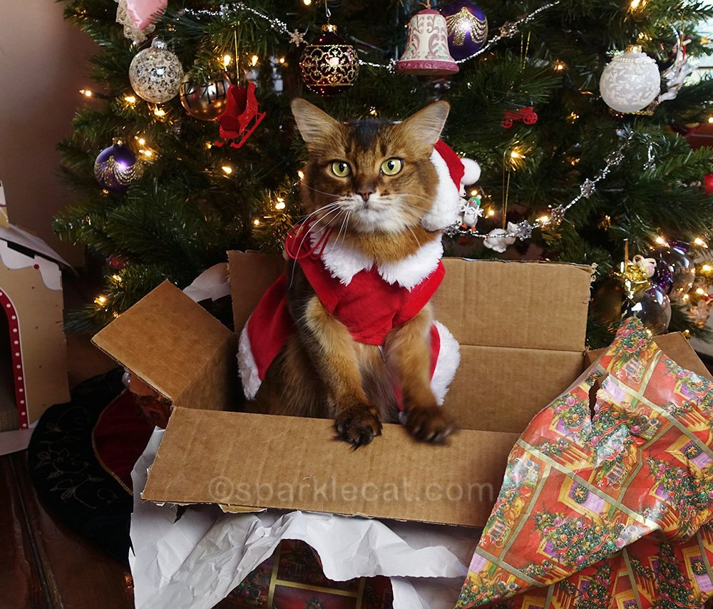 somali cat with Santa hat wardrobe malfunction