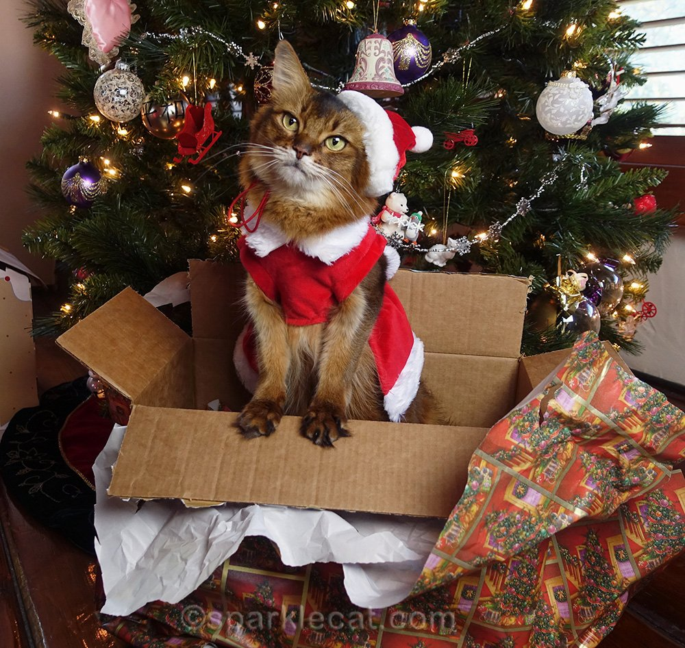 somali cat posing in a cute Christmas scene