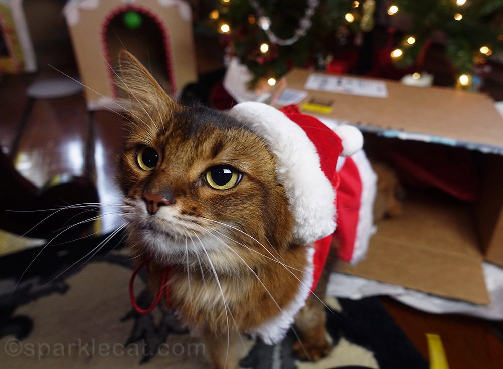 somali cat in Santa outfit after box got knocked over