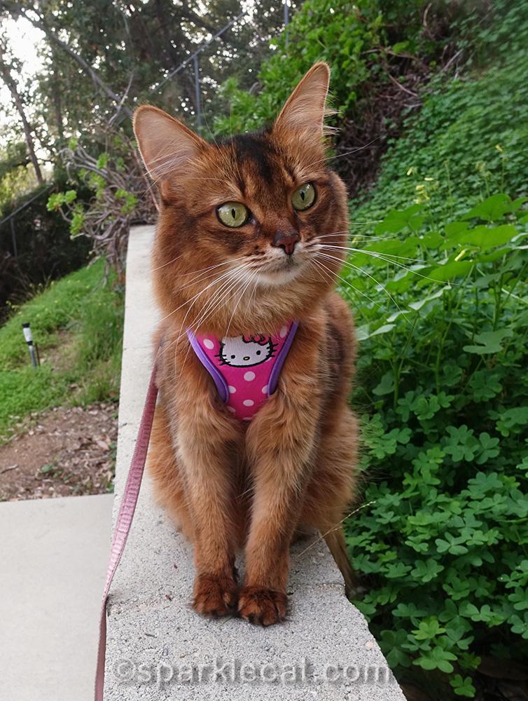 somali cat wearing found hello kitty harness