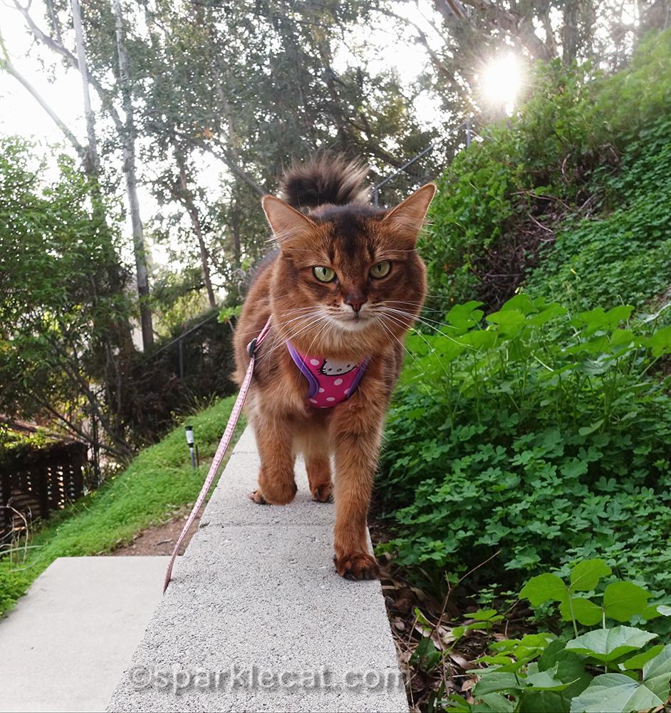somali cat walking on concrete wall.