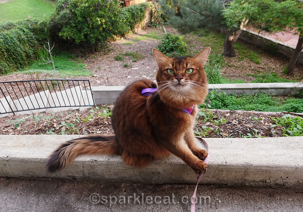 somali cat with backyard in background