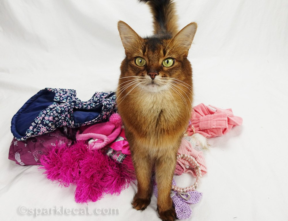 somali cat standing on her clothing