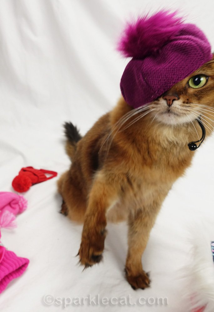 somali cat unsuccessfully wearing raspberry beret