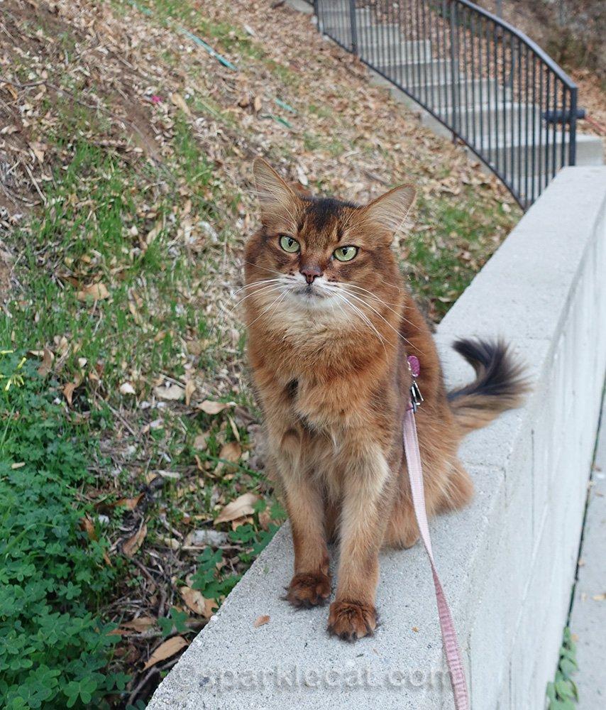somali cat on concrete ledge in backyard